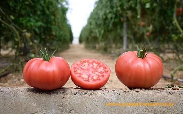 Tomate rosa, Casarosa, de Yüksel Semillas.