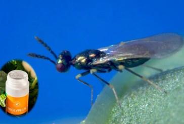 Una avispa parásita de Koppert para controlar la plaga del 'submarino'