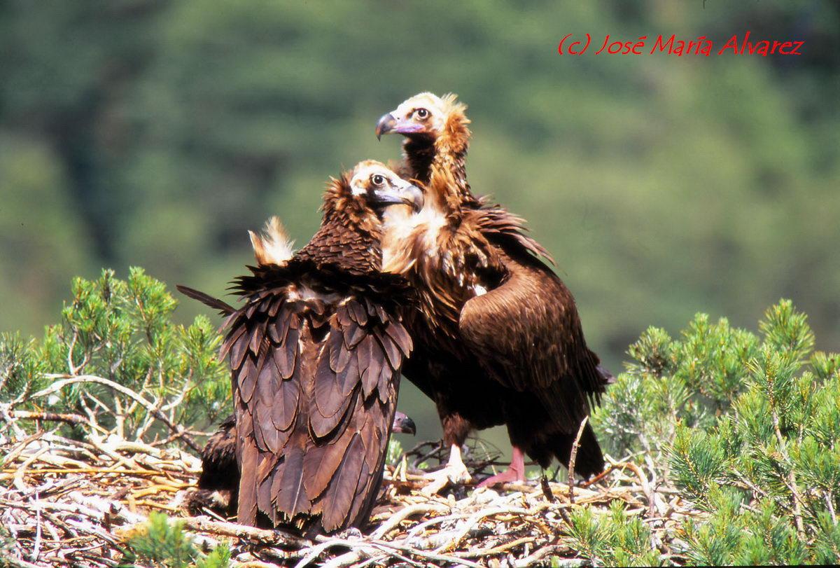 Buitre negro en nido