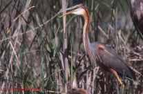 Garza imperial en nido
