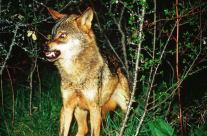 Lobo marcando territorio
