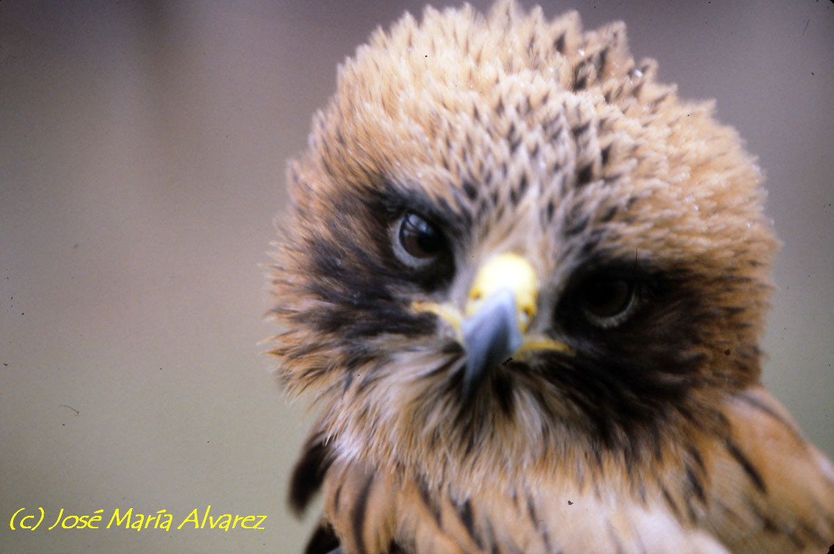 Aguila Calzada Primer Plano