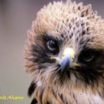 Águila Calzada. Primer plano