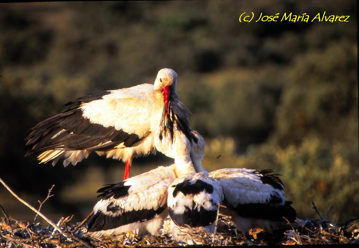Ciconia ciconia con sus polluelos