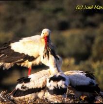 Cigüeña Común en nido