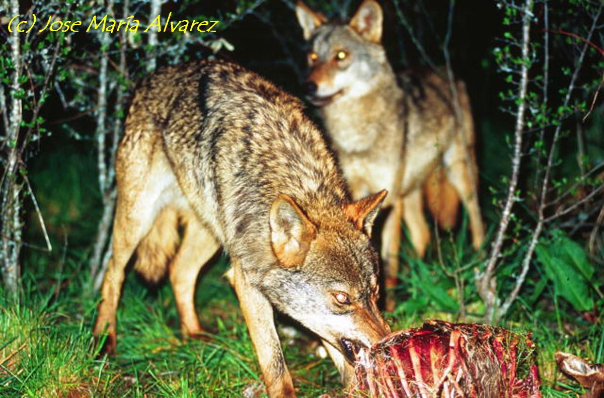La Caza ( Canis lopus)