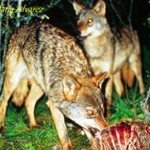 La Caza – Lobo