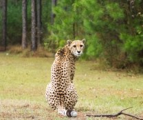 Cheetah at White Oak