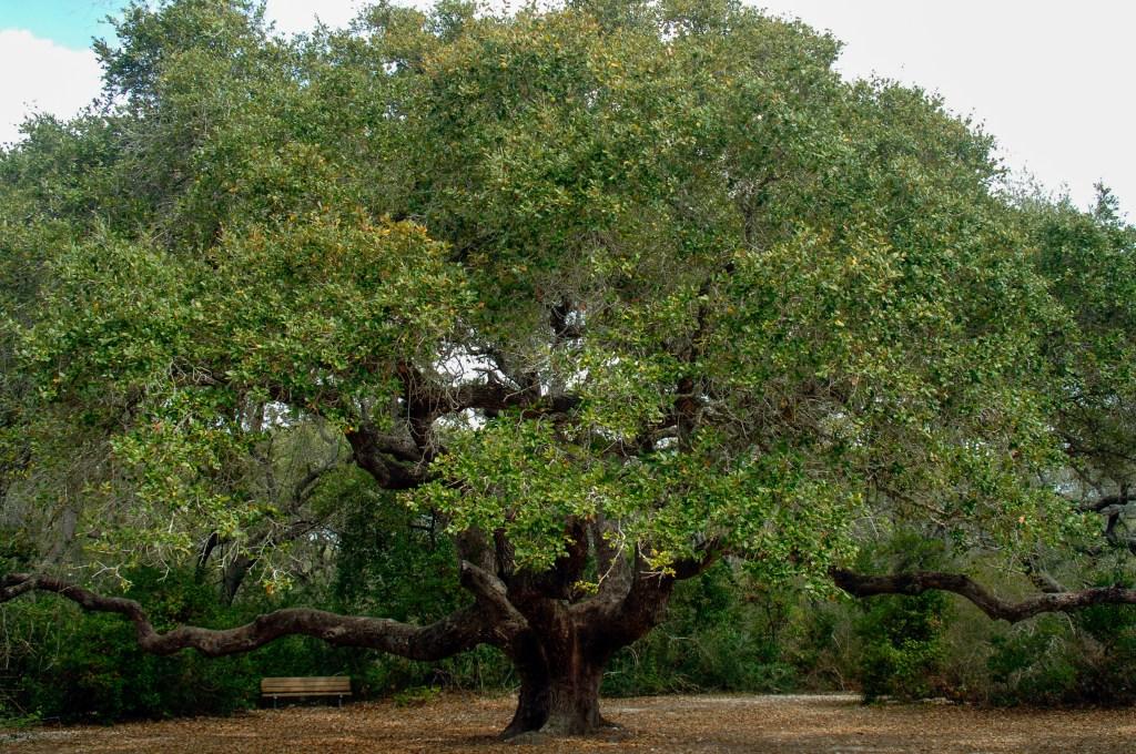 An oak tree in Goose Island State Park, Texas
