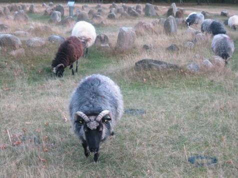 Viking sheep grazing