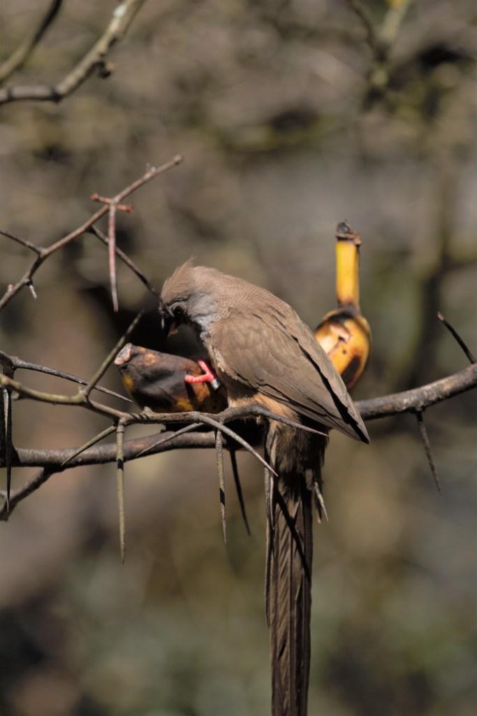 Bird Eating Banana