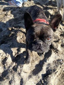 March 27, 2012: Pugs On The Beach!