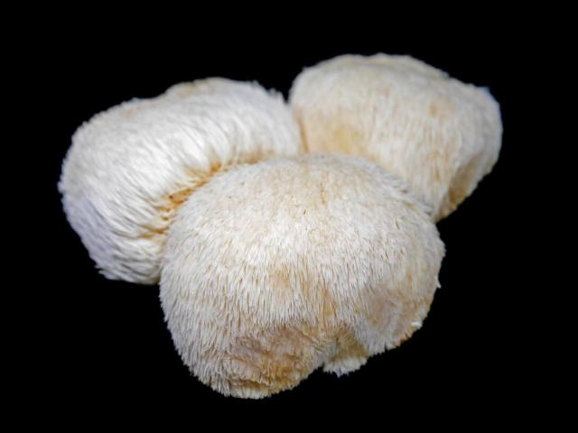 Lions-mane-mushrooms