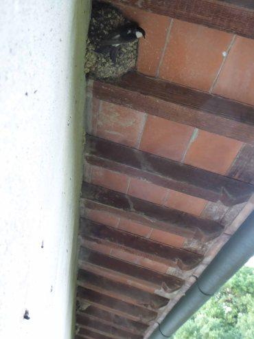 nidi di rondine