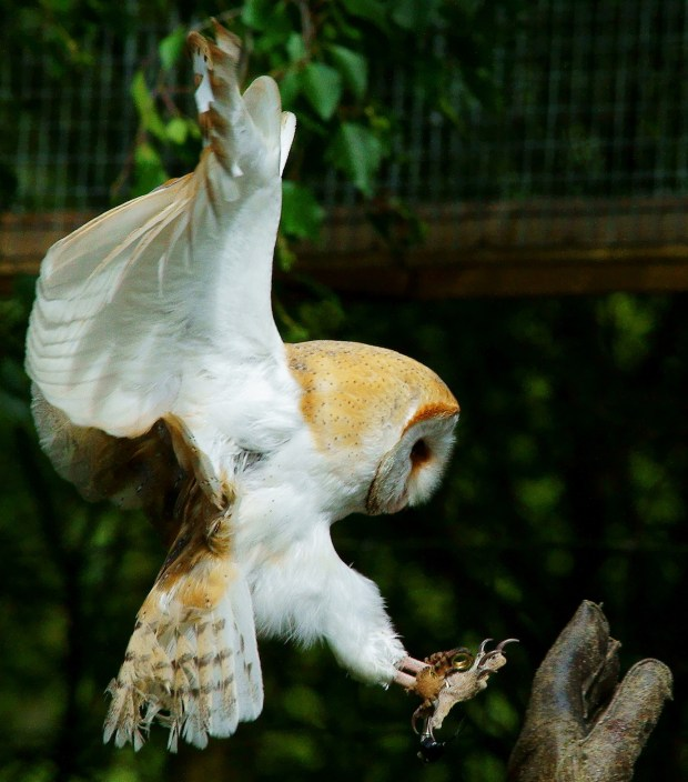Jumping owl