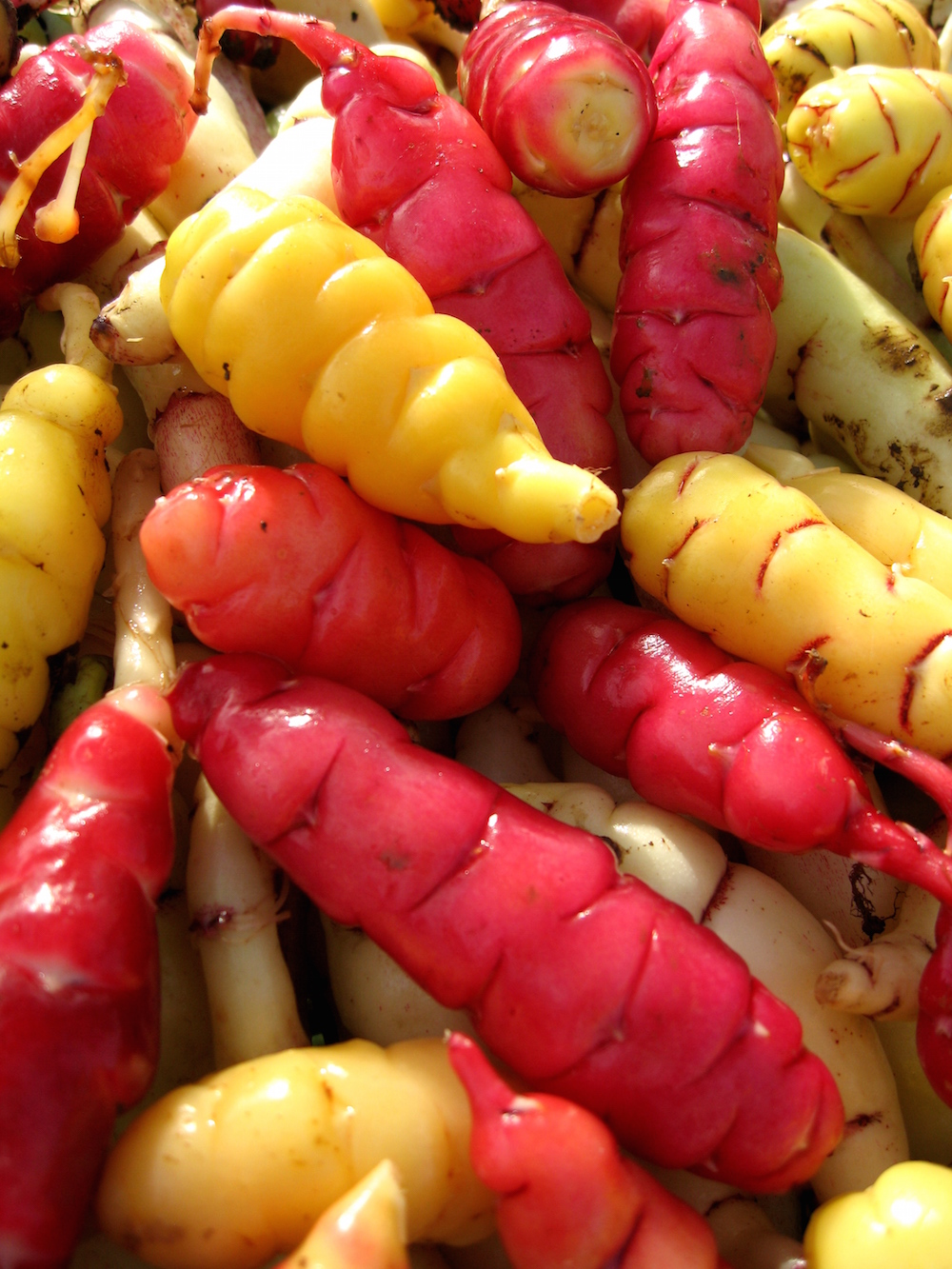 Multicolored-oca