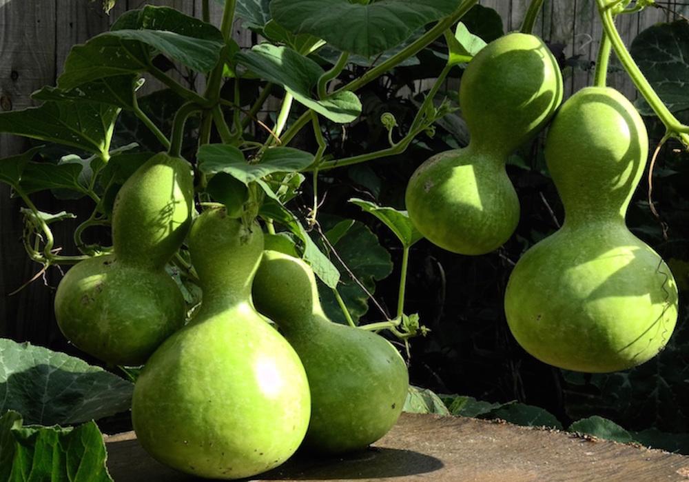 gourds-3
