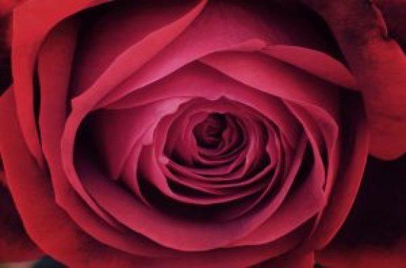 Rosa Sant Jordi 2