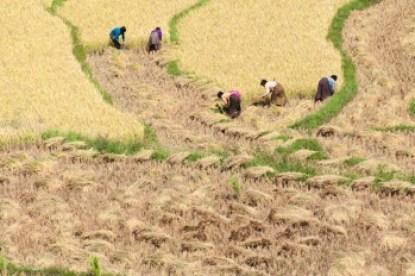 Bhutan - Rice harvest