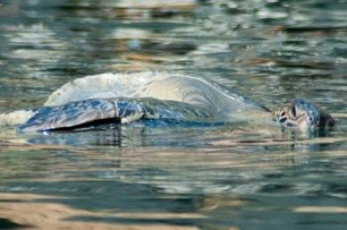 Galapagos-green turtle.