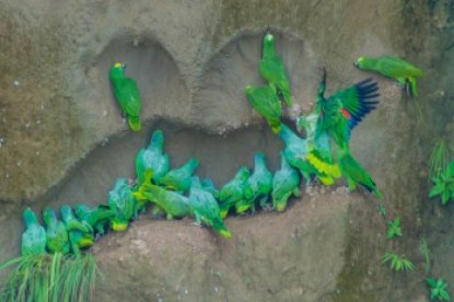 Ecuador - Amazon parrots and salt lick.