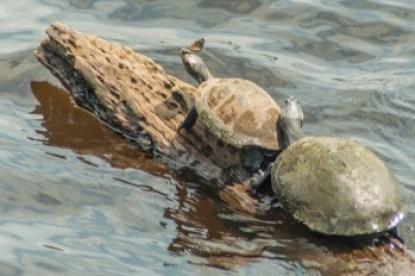 Equador - Anangucocha Lake turtles.