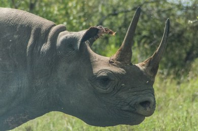 Kenya highlands black rhino