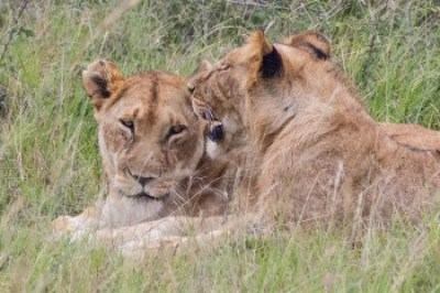 Kenya - Mara Lions