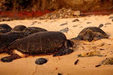 Sea Turtles, Maui HI