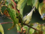 Photo of Black-throated Green Warbler