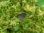 Photo of Gray Hairstreak
