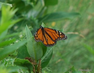 Photo of Monarch