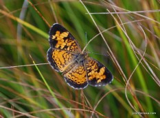 Photo of Pearl Crescent