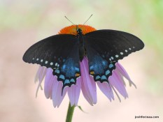 Photo of Spicebush Swallowtail