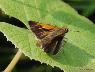 Photo of Tawny-edged Skipper