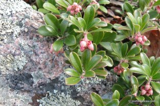 Photo of Red Bearberry flowers