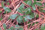 Photo of Red Bearberry in Pitch Pine needles