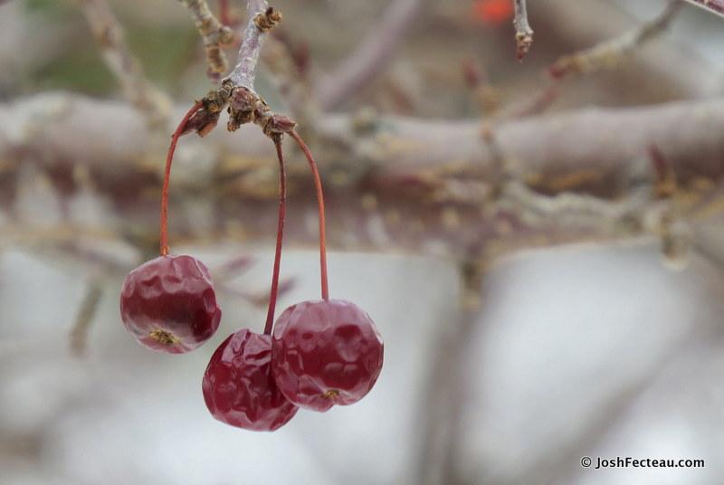Snow Crabapple Tree Fruit