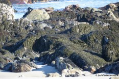 Photo of Knotted Wrack (Ascophyllum nodosum) bed