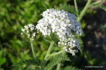 Photo of Common Yarrow (Achillea millefolium) top