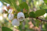 Photo of Dwarf Huckleberry flower