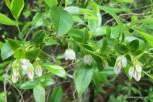 Photo of Dwarf Huckleberry flowers