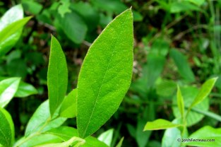 Photo of Dwarf Huckleberry leaf