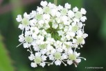 Photo of Spotted Water-hemlock umbellet