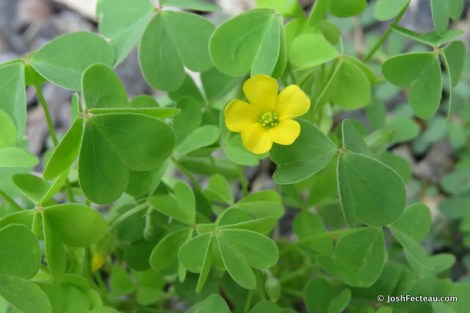 Photo of Wood Sorrel flower