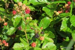 Photo of Bristly Blackberry fruit