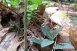 Photo of Checkered Rattlesnake-plantain stem
