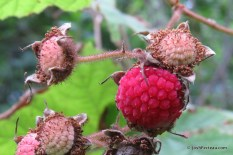 Photo of Flowering Raspberry fruit