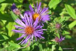 Photo of New England American-aster flowers