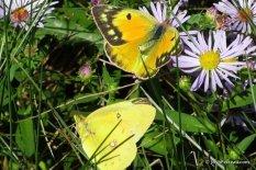 Photo of Orange Sulphur (female -- top)
